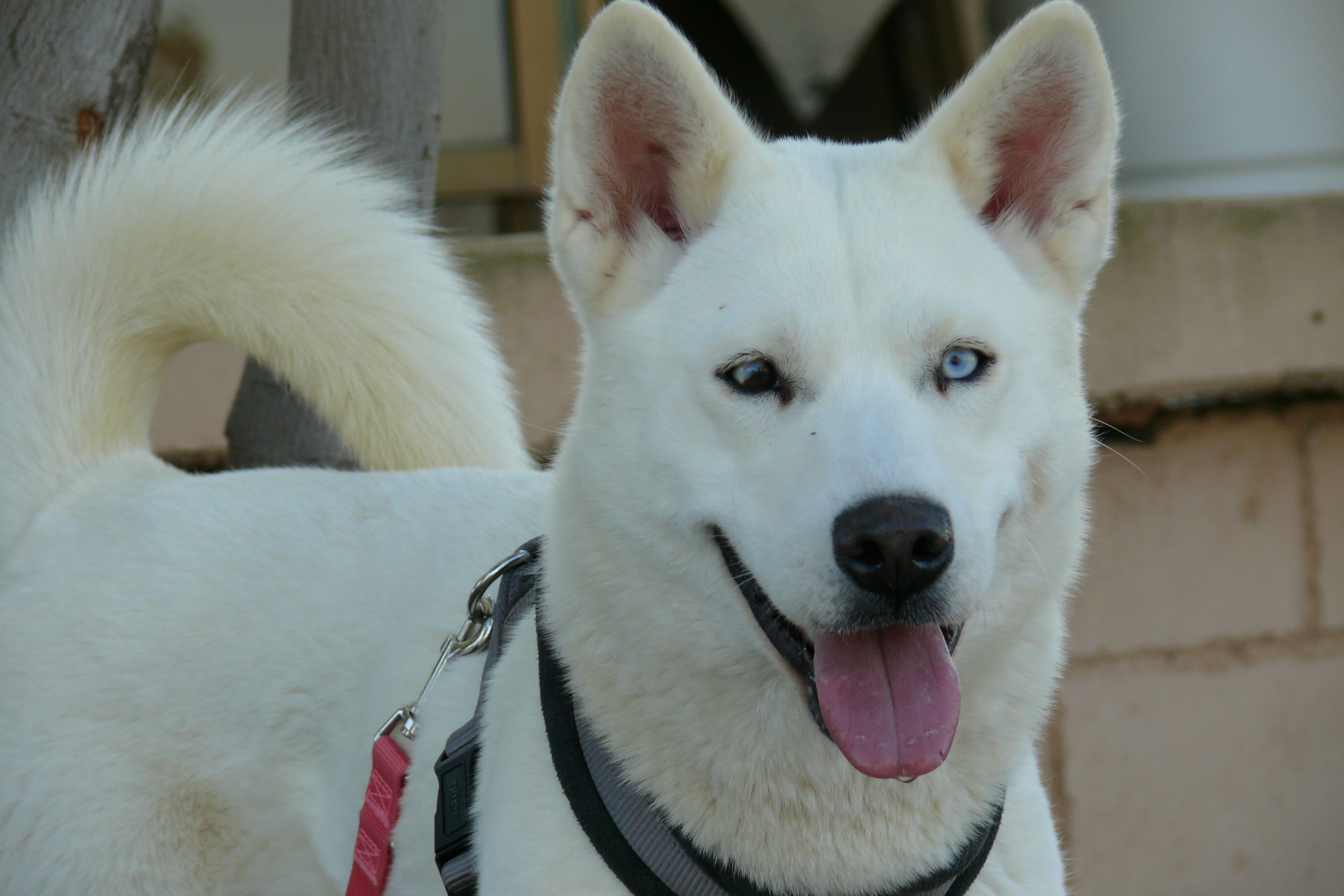 Gaia from Sled Dog Rescue