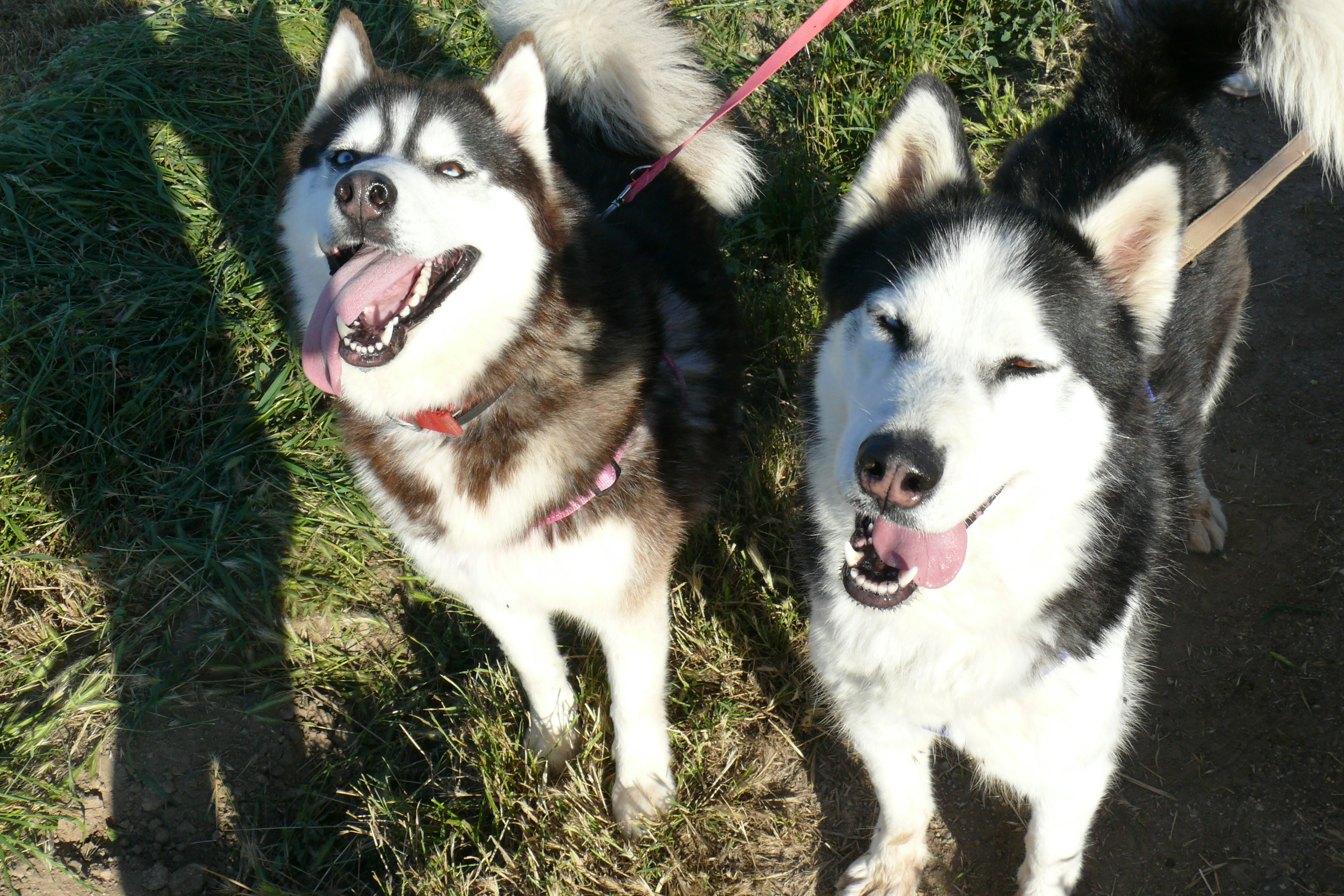 Ida & Altai from Sled Dog Rescue