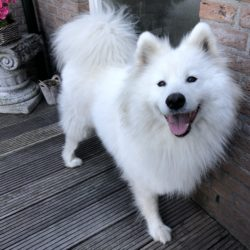 Wonderful Samoyed Bianca needs new home