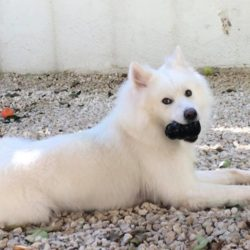 Samoyed from Bulgaria ends up in rescue in Cyprus