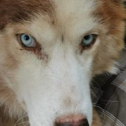 Abandoned special needs husky is fighting for his life