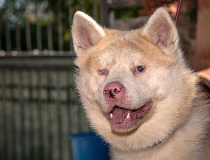 Help Pick name for Blind Akita – Fundraiser