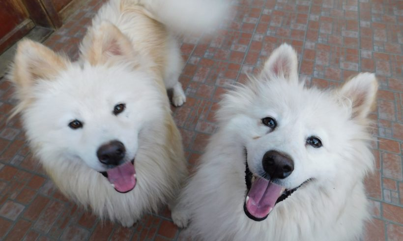 Tofu & Percy – Two Samoyeds Freed from life in cages