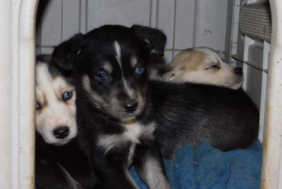 Freshly rescued husky and her puppies need help!