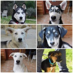 Husky Family For Adoption